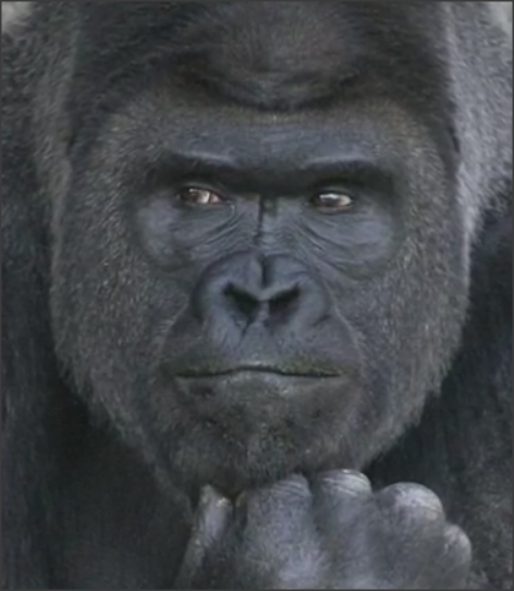Самец гориллы Шабани свел с ума сотни тысяч женщин на планете ...