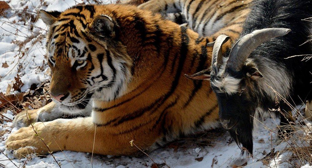 Козел Тимур станет пищей тигра Амура, как только почувствует себя жертвой