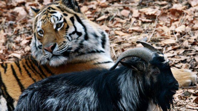 Тигр Амур и козел Тимур: все секреты раскрыты
