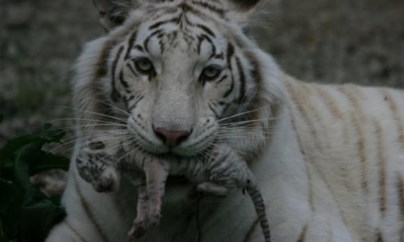 гибель тигрят в зоопарке Крыма