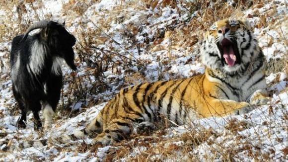 дружба тигра и козла