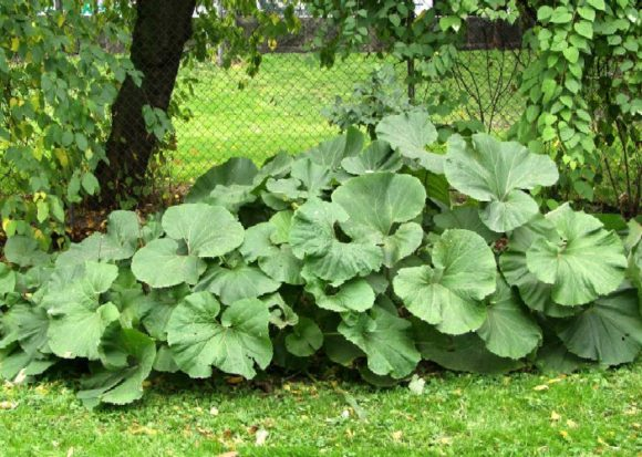 Растения агрессоры в вашем саду