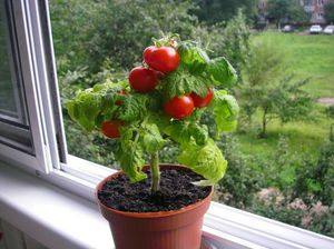 pomidorchiki v gorshke